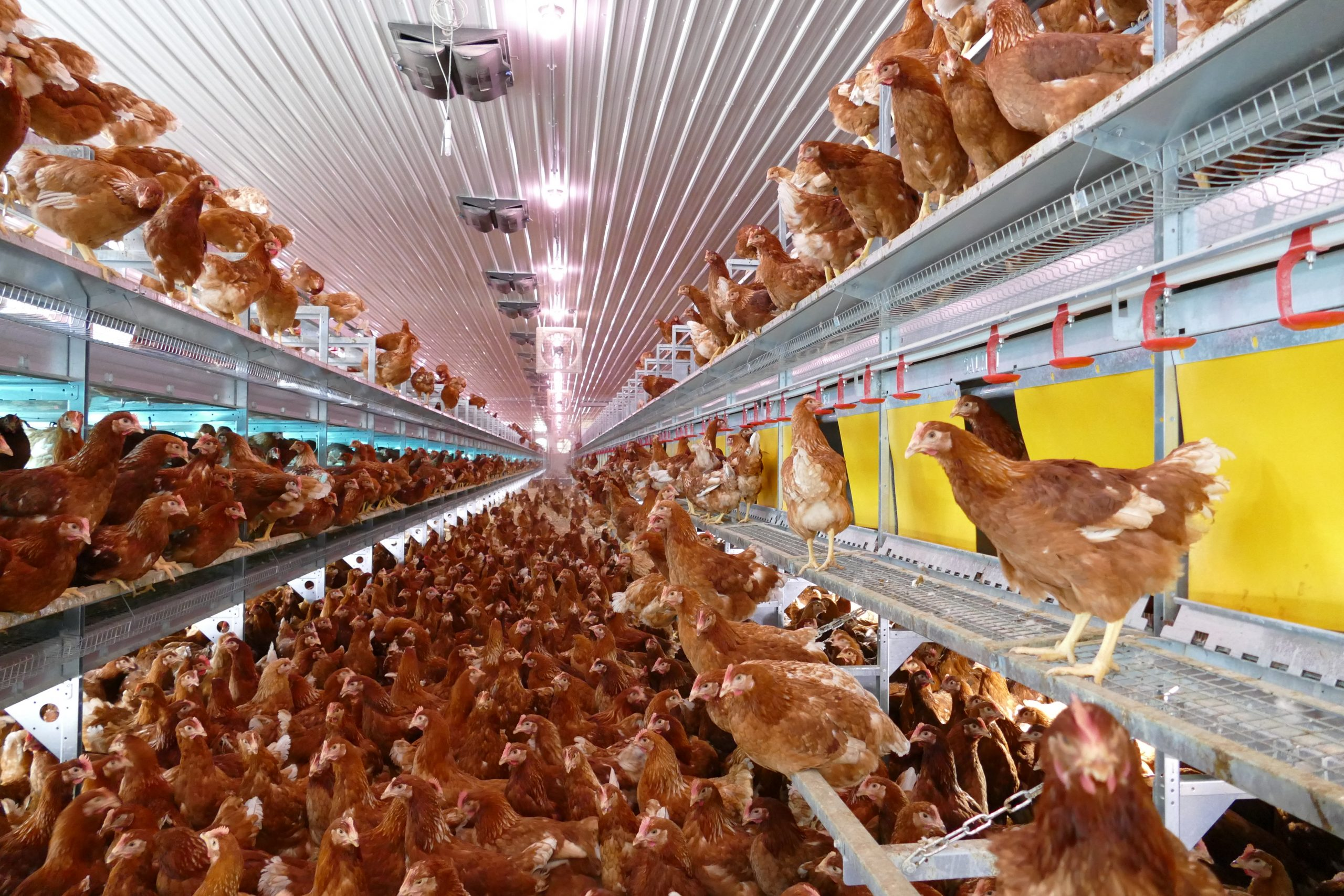 """<span style=""""color: #ffcc00;"""">Reliable, durable and thoroughly tested</span> poultry equipment"""